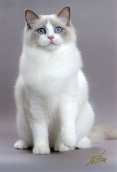 "Ragdoll #cat is a #cat breed with blue eyes and a distinct colorpoint coat. It is a large and muscular semi-longhair cat with a soft and silky coat. It is best known for its docile and placid temperament and affectionate nature. The name ""Ragdoll"" is derived from the tendency of individuals from the original breeding stock to go limp and relaxed when picked up."