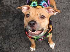 SAFE !  12/04/13 SASHA  #A0984736  Female tan & white pit bull mix  2 YRS  OWNER SUR on 11/12/13 Calm during behavior exam-WHICH SHE ACED! This charming wee lady is a social butterfly.  She loves to be close to her human and is an expert cuddler. She knows her commands for 'down' and 'stay. Playful & friendly. Our hope for this little snuggle bug is that she'll soon be back where she belongs - in the arms of her new forever family. Could you be the one she's waiting for?