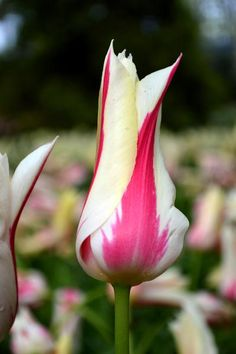 "Tulip Marilyn has unusual, pointed petals that open in the sunshine giving a lily-like appearance add to the impact of this highly attractive Tulip. Tulip Flower Bulbs ""Marilyn"" also produce excellent Cut Flowers."