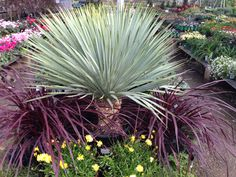This is a Yucca Rostrata (a very expensive & beautiful tree) surrounded by purple Cordyline 'Festival Grass.' This photograph was taken at Village Nursery in Huntington Beach, CA