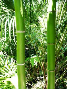 Two Bright Green Bamboo Culms Phyllostachys vivax