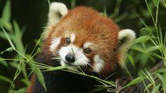 widescreen hd red panda