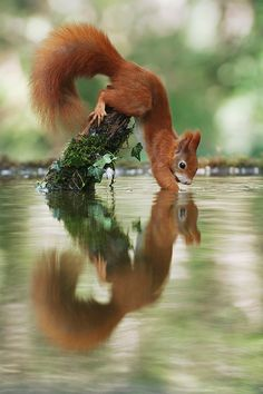 Let me check the water temperature - Red Squirrel, by Julian Rad. Nature Animals, Animals And Pets, Baby Animals, Funny Animals, Cute Animals, Wildlife Nature, Amazing Animal Pictures, Amazing Animals, Animals Beautiful