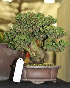 Sekka dwarf hinoki cypress- 2015 Autumn Japan Bonsai Exploration– Part 4 Hinoki Cypress, Bonsai Garden, Herbs, Japan, Autumn, Dwarf, Miniature, Gardening, Blog