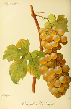 grapes, Chasselas Duhamel variety