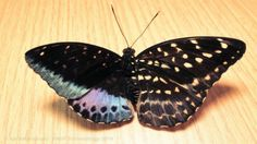rare half male half female butterfly