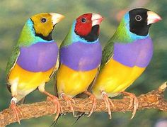 24 Most Colorful Birds In The World 25 Gouldian Finch Kinds Of Birds, All Birds, Little Birds, Love Birds, Pretty Birds, Beautiful Birds, Animals Beautiful, Cute Animals, Exotic Birds