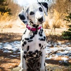 Dalmation #dogs #pets #ShermanFinancialGroup