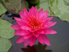 RAZZBERRY, another new remarkable waterlily for 2017. More stable, better blooming than other older varieties. Very easy to grow and flowers in just 5 hours direct sun though more is better.