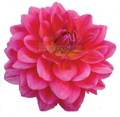 Another good choice I think, less overdone than roses, richer looking than carnations. (Dark pink Dahlia)