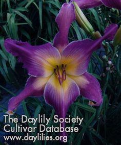 Heavenly Ooh La La plants-wish-list Unusual Flowers, Amazing Flowers, Purple Flowers, Beautiful Flowers, Purple Lily, Yellow Roses, Pink Roses, Daylily Garden, Lilies Of The Field