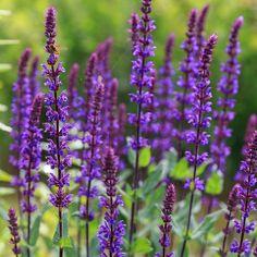 Caradonna Blue Sage | Salvia sylvestris Caradonna | High Country Gardens