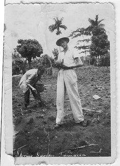 Pineapples in Jamaica