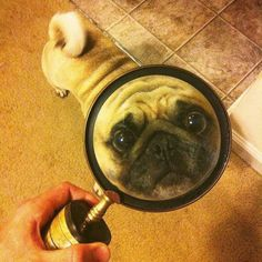 Just making sure you know I'm here... #pug