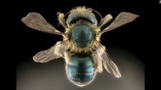 """""""This beautiful blue bee nests in snail shells,"""" writes Droege. The Osmia conjuncta specimen comes from Maryland.CNN 'The amazing diversity of bees'"""