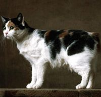 Manx Cat. This looks like a mix between our two cats, Pika (calico DSH) and Meela (orange tiger manx).