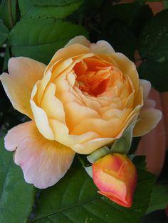 'Lady Emma Hamilton' roses  // Great Gardens & Ideas //