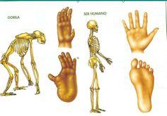 manos-humano-gorila