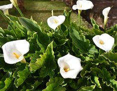Zantedeschia Aethiopica, Green Garden, Botanical Gardens, Planting Flowers, Plant Leaves, Nature, Voici, Gardening, Painting