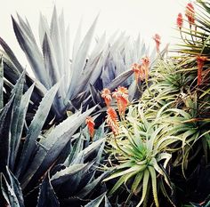 one day i will have a home where i can have aloe in my yard (and an avocado tree, a lemon tree + a grapefruit tree)