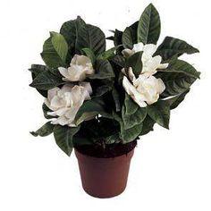 Gardenia Jasminoides (Gardenia) | Så otroligt vacker, men inget för doftallergiker...