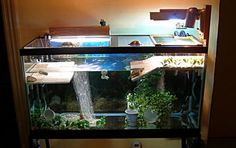 tank with a feeding dock. I love the idea of using dishes and pottery as decorations Aquatic Turtle Tank, Turtle Aquarium, Aquatic Turtles, Goldfish Aquarium, Turtle Tank Setup, Turtle Dock, Turtle Tanks, Fish Tanks, Red Eared Slider Tank