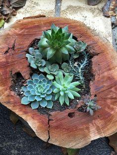 Succulents In Log