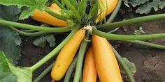 Výsledek obrázku pro směs žlutá cuketa okrasných tykví Carrots, Stuffed Peppers, Vegetables, Food, Meal, Stuffed Pepper, Essen, Carrot, Vegetable Recipes