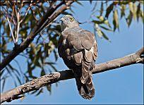 Australische Koekoekswouw - Aviceda subcristata
