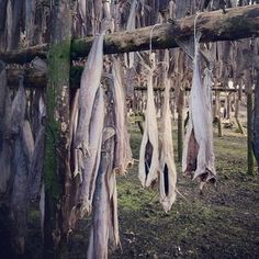 Haddock drying on tree branches in Iceland! Great snack for location scouting.... I had the pleasure as a kid, working in the local fish factory, to go hang the heads up to dry... Believe me when i say, that the smell was....eehm.. quite unique.. And the flies!!!! whoa...