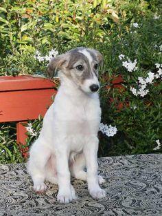 Talisman's Sunburst Anthias Silken Windhound pup