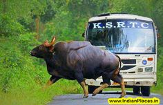 A #bull crossing the Kanakatte road in the #heart of Nagarahole #National #Park in #Karnataka, #India by Incredible Indian Places To Visit
