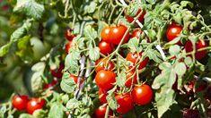 Rajčata v žádném případě nepatří mezi suchomilné rostliny, naopak vyžadují hojnou a pravidelnou zálivku. Vegetables, Vegetable Recipes, Veggies