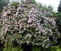 dipelta floribunda floraison printemps