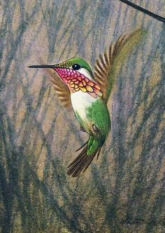 Oiseau mouche Planche Originale Ancienne Couleur 50s Oiseaux de Paradis Oiseaux…