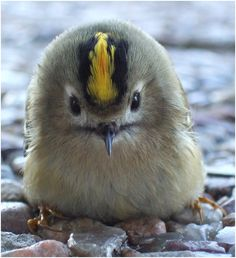 Wintergoldhähnchen (Goldcrest) - Europe's Smallest Bird