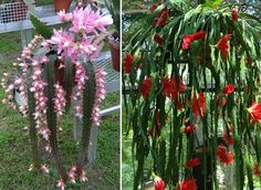 Thanks to Syble Cook, I finally learned the name of this: Orchid Cactus (epiphyllum cactus). For information on how to grow and care for them, see the URL given.