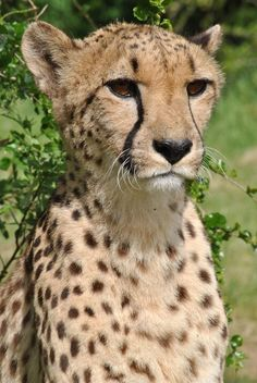 Cheetah Focus by Rory Boon Photography