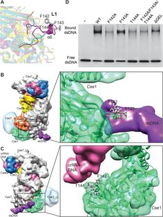 Crystal structure of Thermobifida fusca Cse1 reveals target DNA binding site - Tay - 2014 - Protein Science - Wiley Online Library
