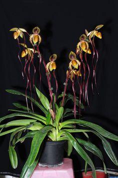 Paphiopedilum, Lady Slipper Orchid.