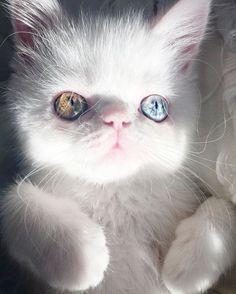 Это котёнок по имени Пам-Пам, с самыми завораживающими глазами кот, глаза, гетерохромия, длиннопост