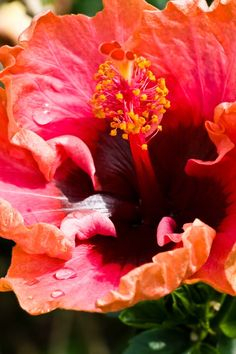 Red Hibiscus  #flowers Flowers For You, Wonderful Picture, Hibiscus Flowers, Flower Pictures, Red, Painting, Photos Of Flowers, Painting Art, Paintings