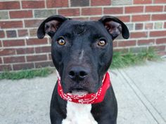 TO BE DESTROYED - 10/04/14 Brooklyn Center -P  My name is OREO. My Animal ID # is A1014466. I am a neutered male black and white pit bull mix. The shelter thinks I am about 4 YEARS old.  I came in the shelter as a STRAY on 09/18/2014 from NY 11236, owner surrender reason stated was STRAY.