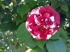 Camellia japonica 'Emperor of Russia Variegated' (U.S., 1944)- I can't seem to find this for sale in the U.S.