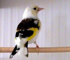 Le Chardonneret Panaché #Chadonneret #Oiseau #Brid #Animaux de : AnimauxEtPlantes