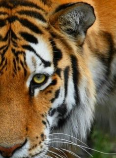 Our national animal tiger essay for kids Tiger Essay in English for School Kids Class Simple school essay on Tiger animal for students. The Tiger Essay in English. Vida Animal, Mundo Animal, My Animal, Beautiful Cats, Animals Beautiful, Grand Chat, Animals And Pets, Cute Animals, Tiger Love