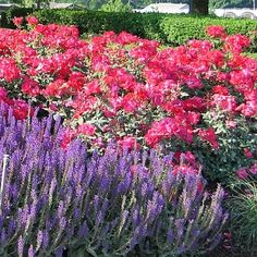 Knockout Rose and Salvia. I love this color combo and my yard has the heat for Salvia.