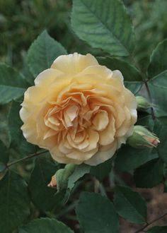 Cottage Roses  BUFF BEAUTY-RAMBLER  A prolific bloomer that's at home on a fence or bank, especially in warm climates, it puts on a late-autumn show. (Country Home)