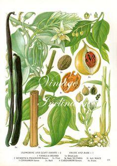 Spice Chart Vanilla Nutmeg Cinnamon Cardamom Food Vintage Botanical Lithograph Illustration For Your Vintage Kitchen 131 Botanical Drawings, Botanical Illustration, Botanical Prints, Garden Illustration, Antique Prints, Antique Art, Vintage Prints, Spice Chart, Vanilla Orchid
