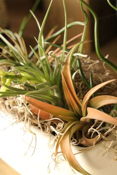 Tillandsia, or Air Plants, from tapioplants.com. Tapio has Free Shipping on all Tillandsia for a limited time. This includes Abdita, Aeranthos Stricta, Bulbosa Belize, Butzii, Capitata Peach, Capitata Select, Caput, Ionantha Brachycaulos, Ionantha Rubra, Leo. Stricta, Stricta Hard Leaf and Velutina.